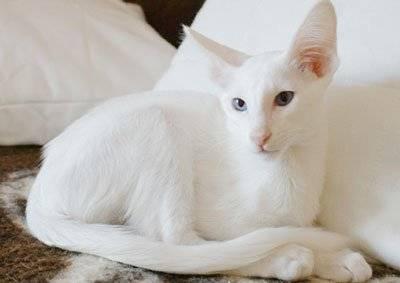 Форин вайт — описание пород котов