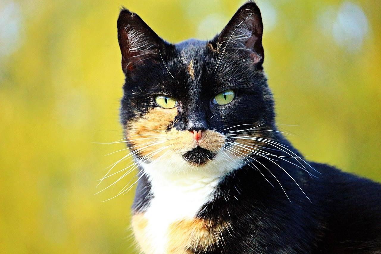 Трехцветная кошка: приметы