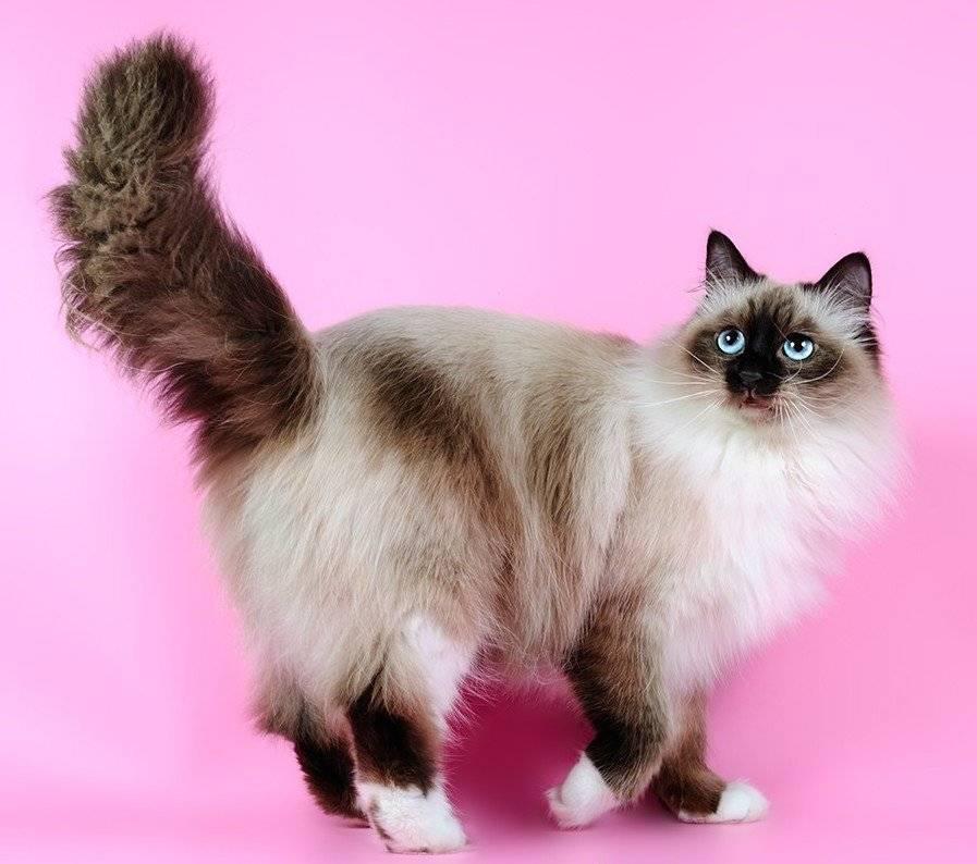 Кошка ангорская: история происхождения породы, внешний вид и фото, особенности характера и ухода за котом, отзывы владельцев