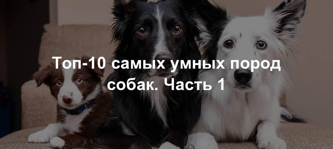 Самые умные породы собак в мире ( описание + фото )