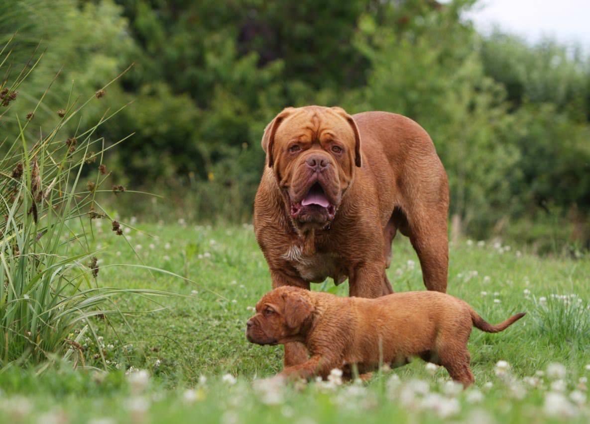 Как выглядит французский мастиф (бордосский дог): особенности характера собак и отзывы владельцев