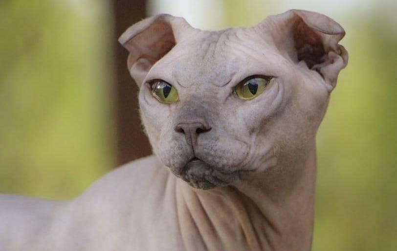 Украинский левкой: 130 фото, видео описание, цена за котенка и стандарты породы