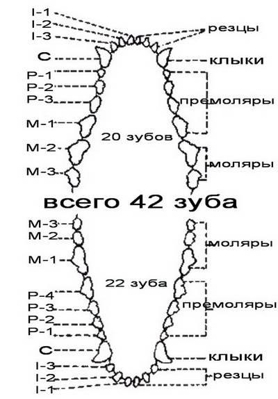 Количество зубов у собак: зубная формула и система питомцев, схем расположения
