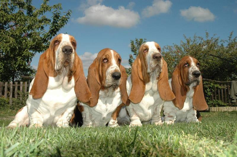 Бассет-хаунд: описание породы с фото, характеристика собаки, щенки, сколько живут, сколько стоит