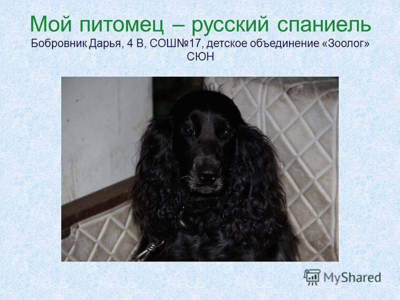 Русский охотничий спаниель собака. описание, особенности, уход и цена породы