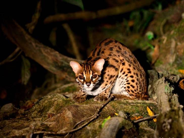 Кошка похожая на леопарда, какая это порода?