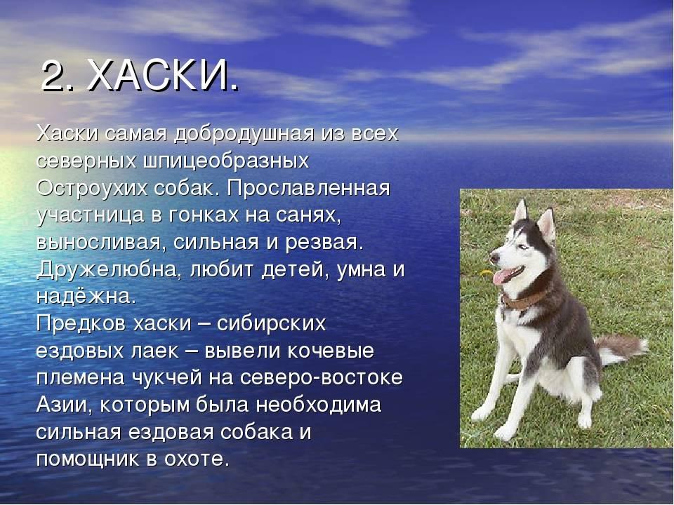 Сахалинский хаски: как выглядит питомец на фото и какие основные отличия от сибирской собаки, а также как выбрать щенка
