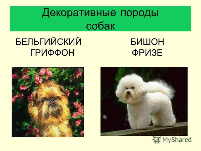 О породе собак бишон фризе