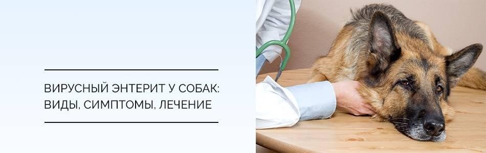 Энтерит у собак парвовирусный, коронавирусный и бактериальный - симптомы, диагностика и методы лечения