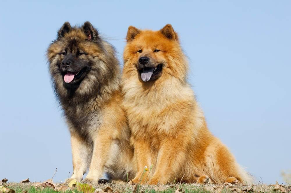 Евразиер: фото породы собак, характер и основные характеристики