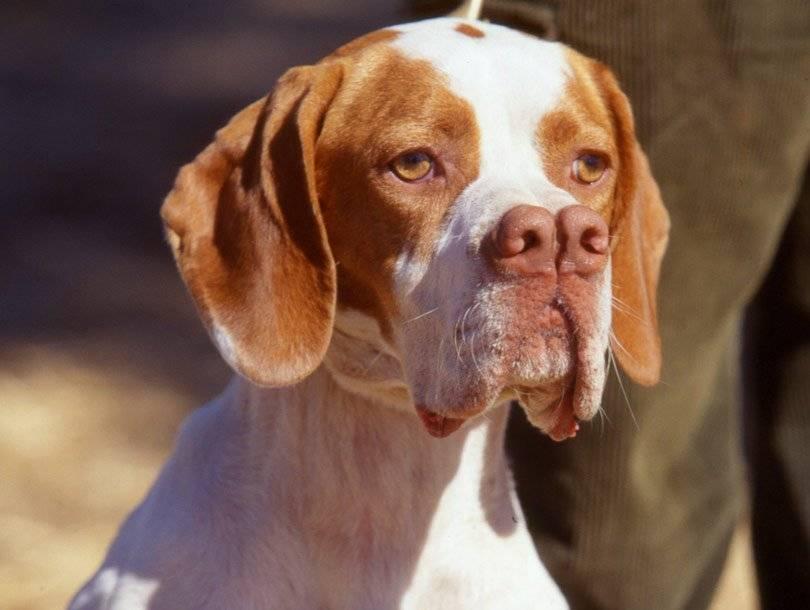 Топ 10 самых редких пород собак в мире - с названиями и фотографиями
