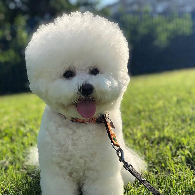 Породы собак бишон фризе: описание, характер, уход, заболевания
