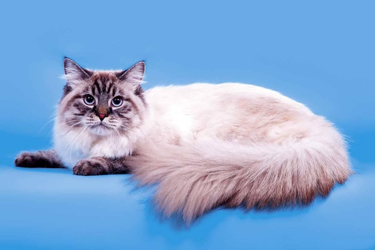 Невская маскарадная кошка: трепетная душа в нарядном оформлении