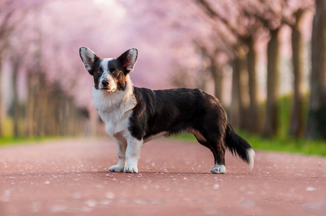 Вельш-корги — любимая собака английской королевы