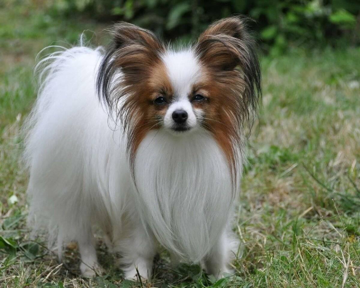 Декоративные собаки: разнообразие пород маленьких друзей человека