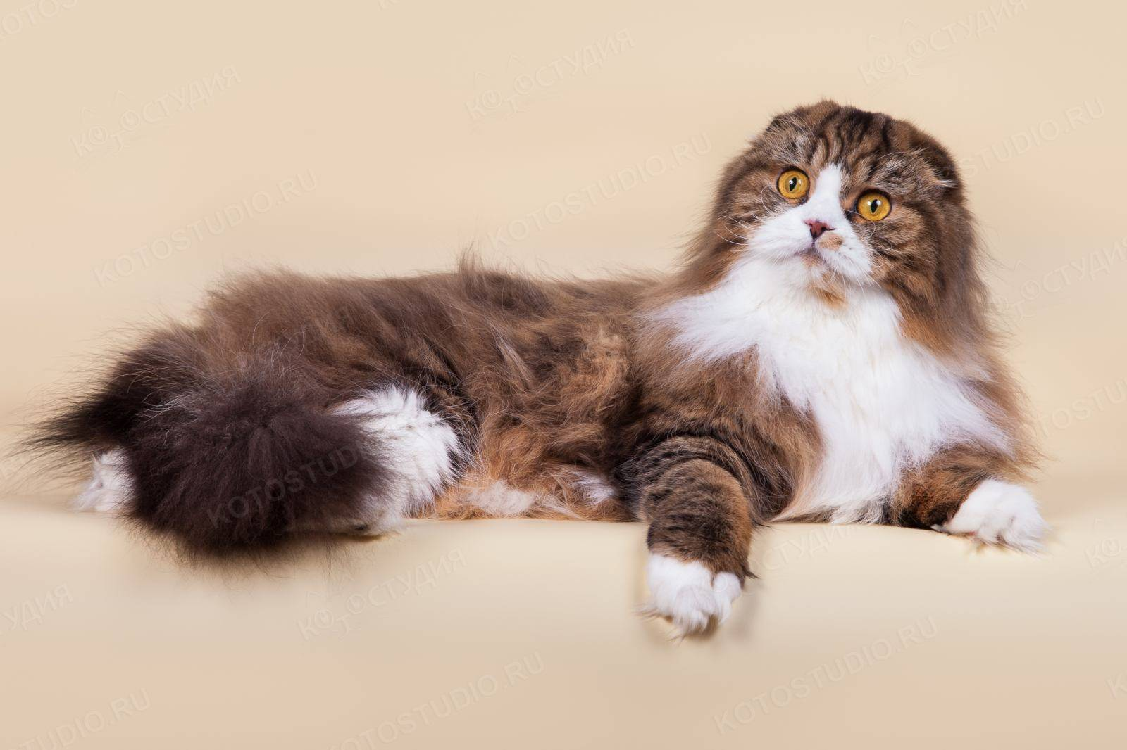 Американская короткошёрстная кошка: особенности породы, фото и отзывы владельцев, содержание питомца и уход за ним