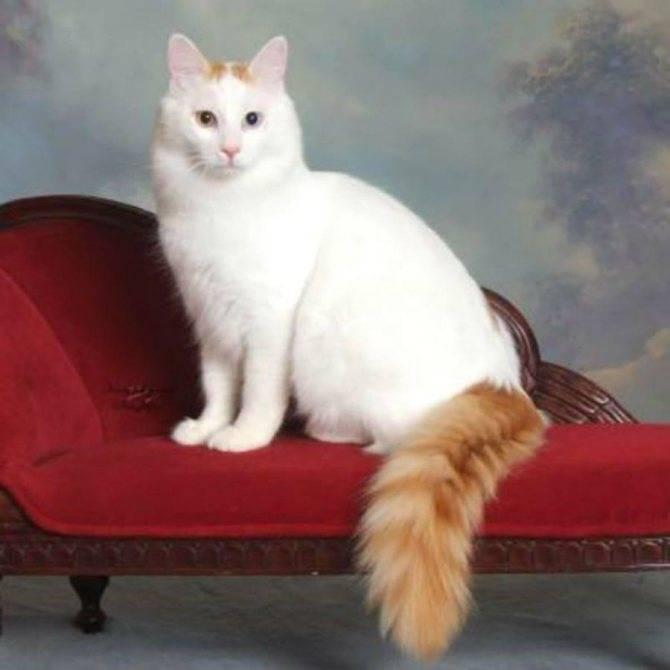 Турецкий ван – порода кошек, умеющих плавать, описание внешности и характера, уход и содержание