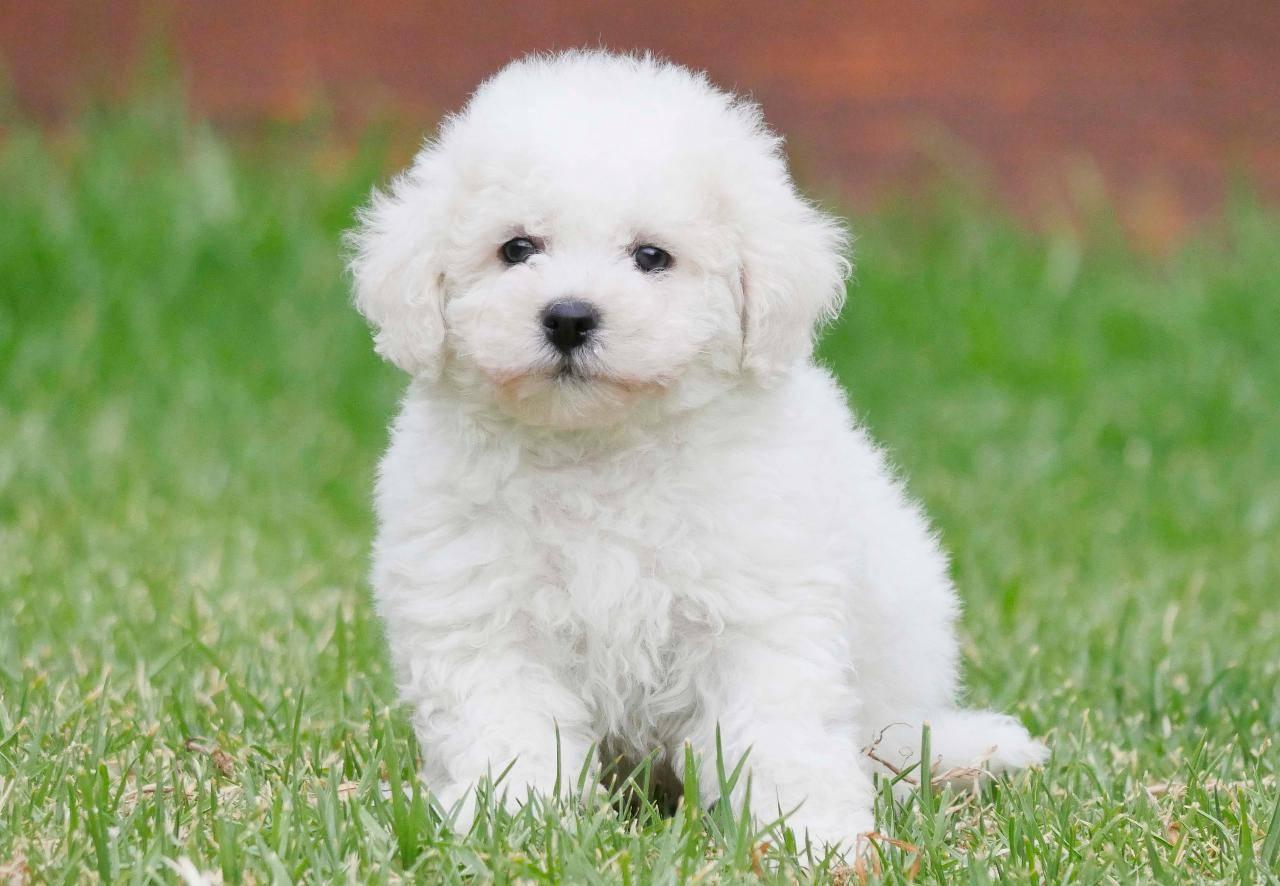 Бишон фризе собака. описание, особенности, уход и цена бишон фризе | sobakagav.ru