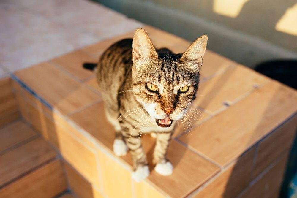 Что означают 5 разных кошачьих «мяу»