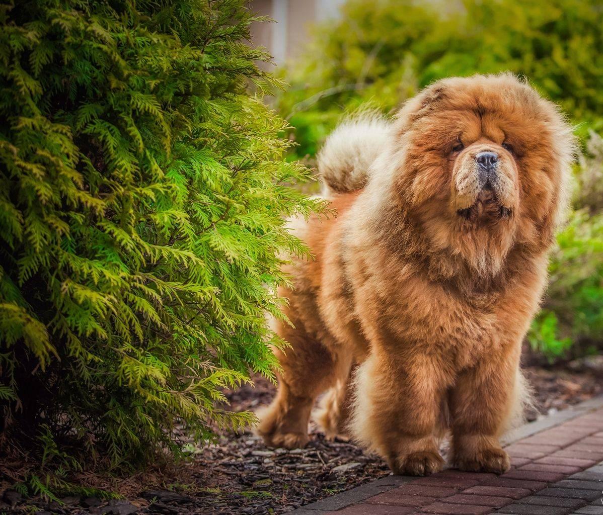 Чау чау собака. описание, особенности, уход и цена породы чау чау | sobakagav.ru