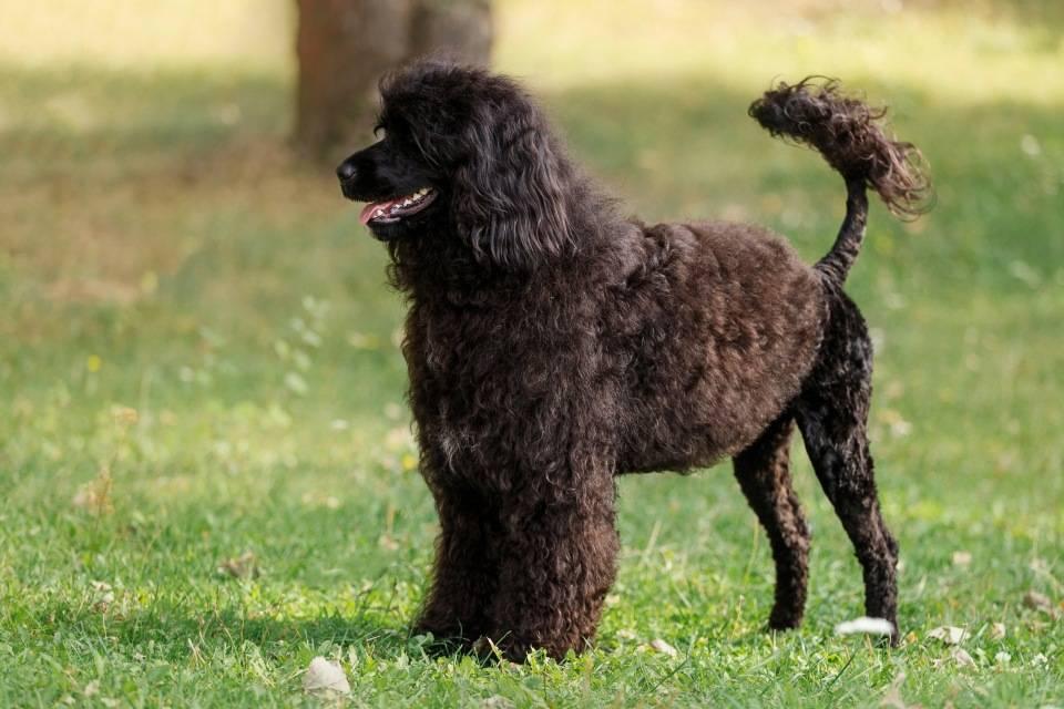 Португальская водяная собака кан-диагуа: описание, фото, характер, уход