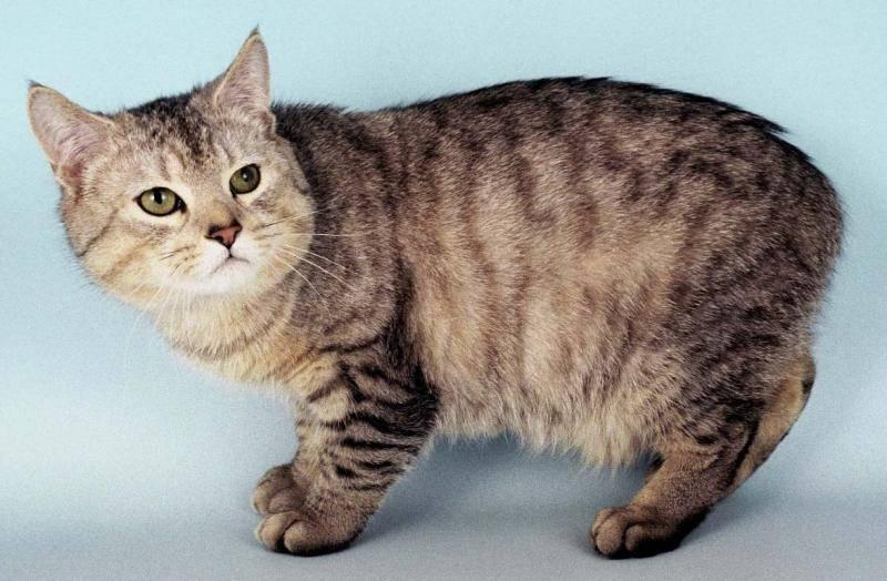 Все, что нужно знать о кошках породы мэнкс