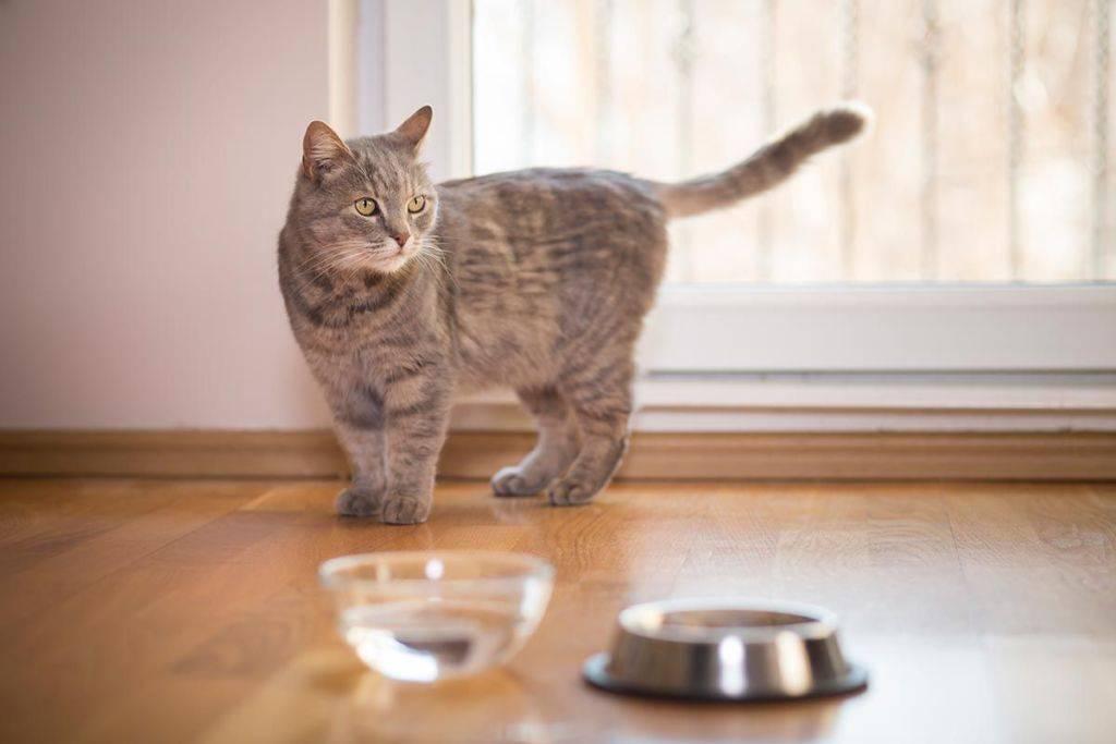 Стоит ли волноваться, если кошка не пьет воду?