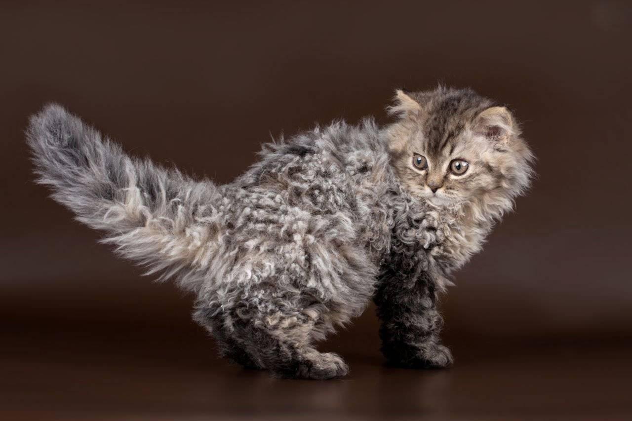 Ла-перм: описание породы, характер кошки, советы по содержанию и уходу, фото лаперм