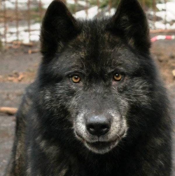 Волчья собака сарлоса (34 фото): описание породы, особенности содержания сарлосской собаки в квартире. кто такой сарлос?