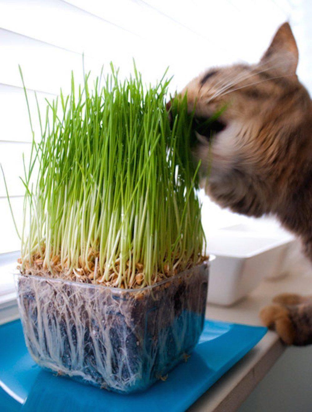 Почему и зачем кошки едят траву?