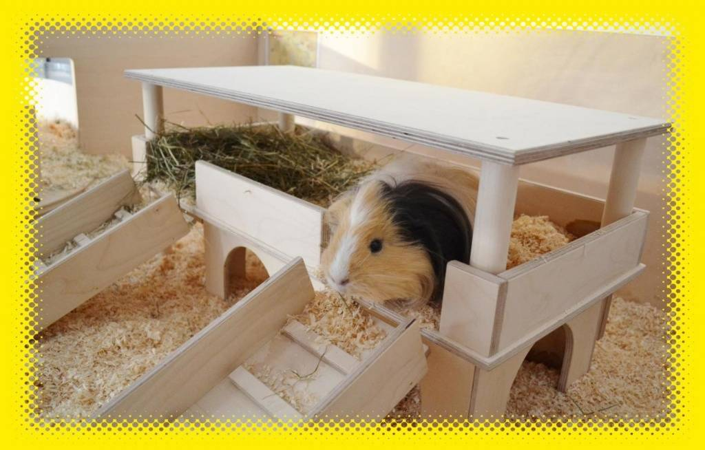 Чем кормить морскую свинку? как выбрать домик для морской свинки?