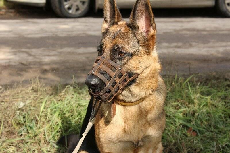 Какие собаки должны носить намордник по закону - правила и ответственность