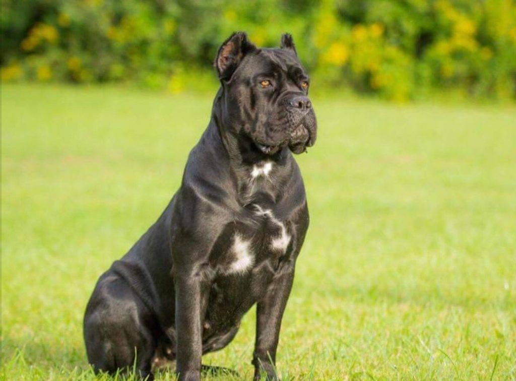 Топ-10 самых опасных собак в мире: обзор пород, краткая характеристика и фото