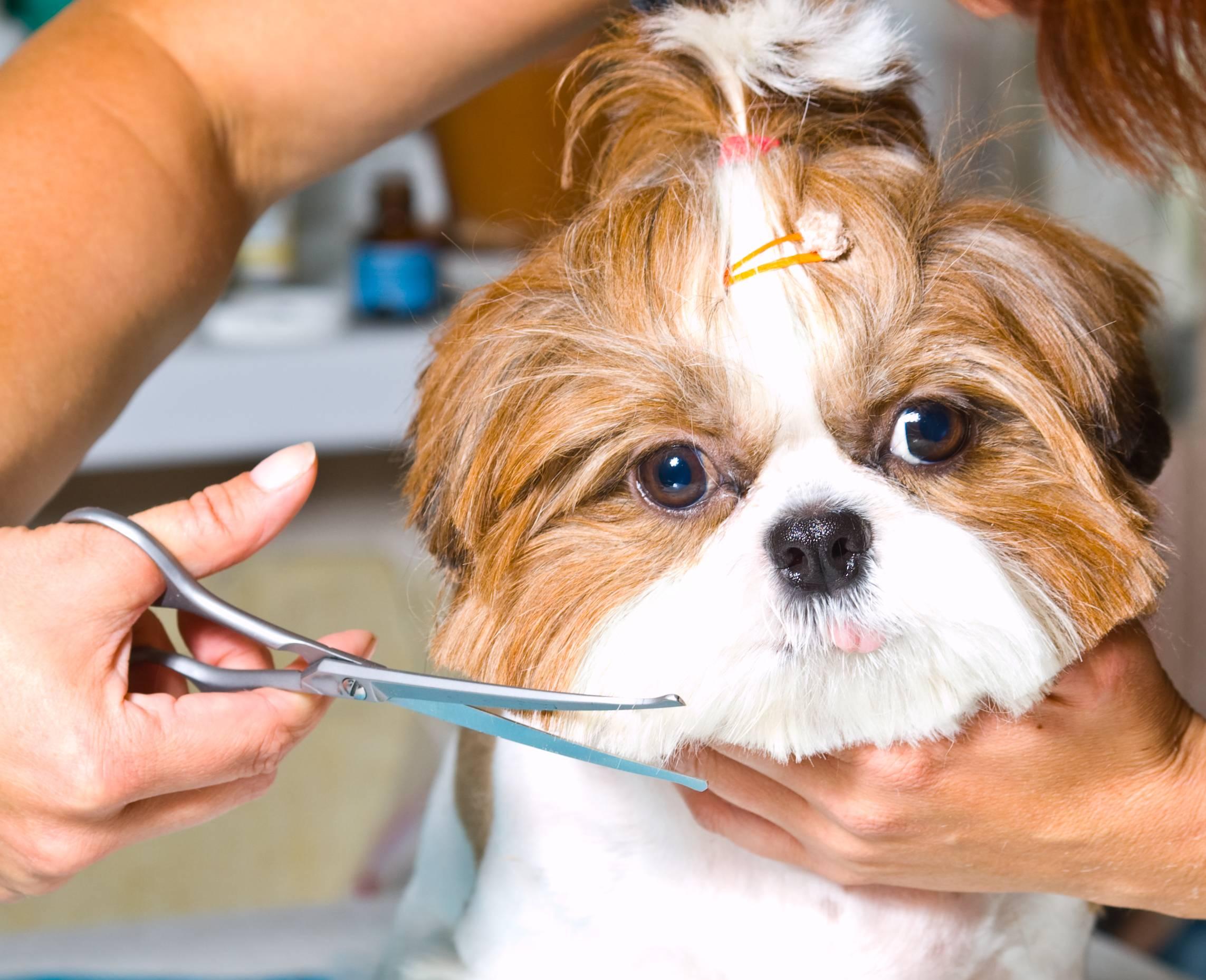Можно ли собаке стричь усы шпицу