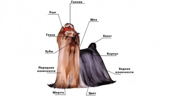 Самая популярная декоративная порода – йоркширский терьер (йорк)