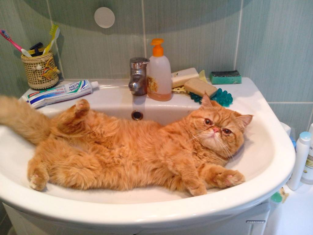 Кошки, которые любят купаться