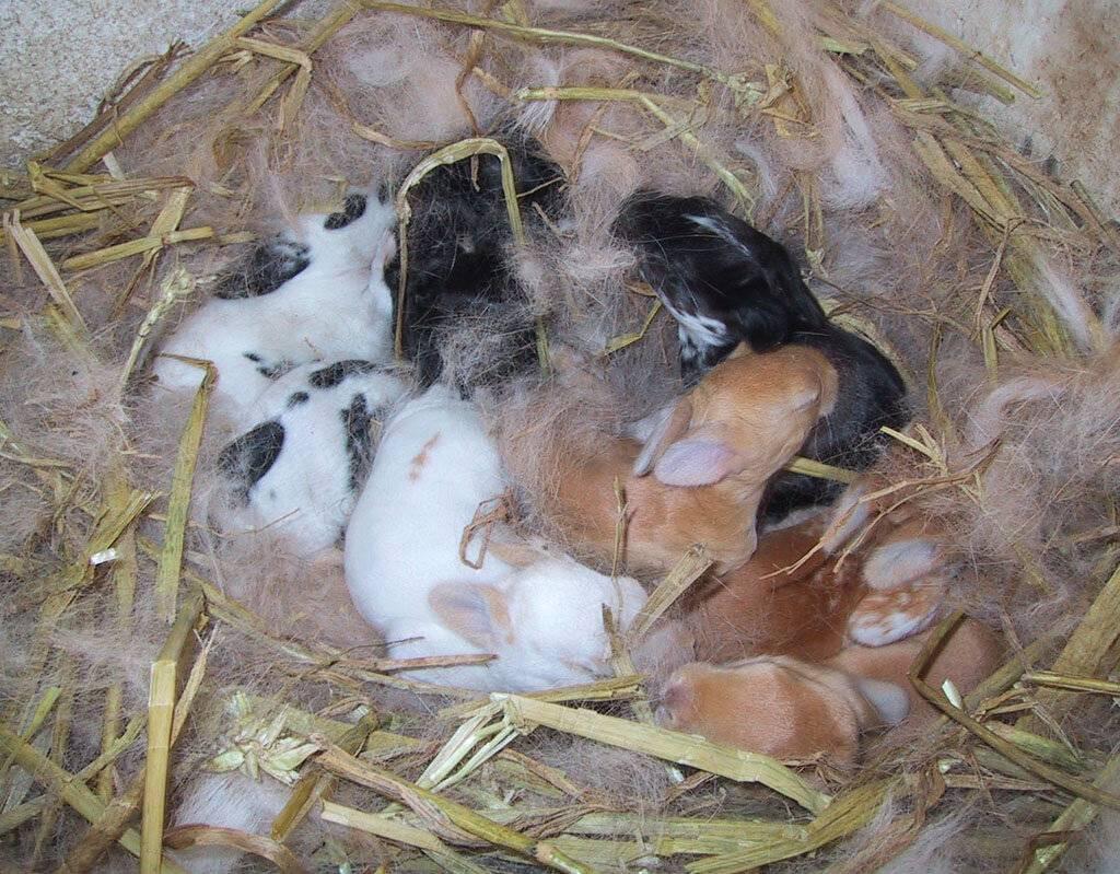 Крольчиха ест своих крольчат: причины и профилактика