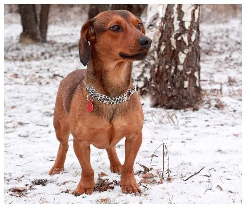 Как выглядит метисы собак породы такса с той терьерами, чихуахуа и другими