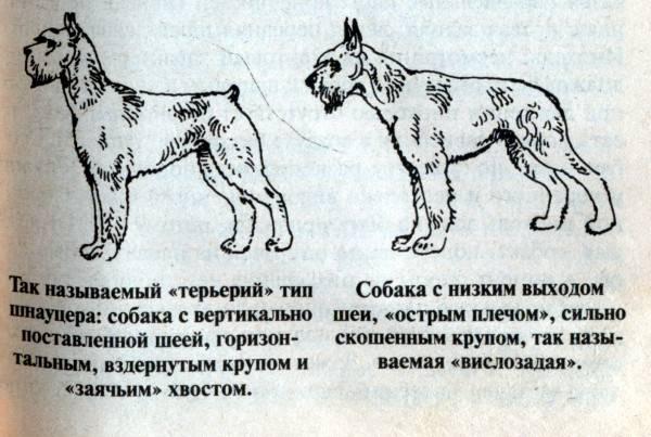 Шнауцеры всех видов: описание породы и уход