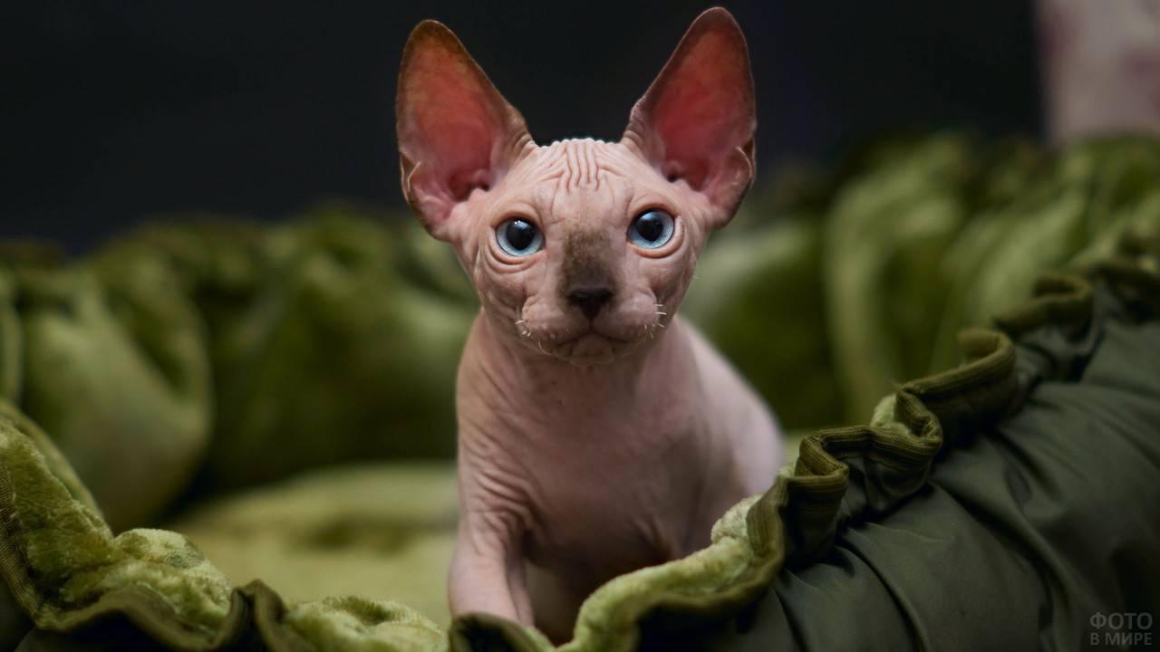 Особенности ухода, воспитания и содержания лысых кошек, разновидности и названия типов породы