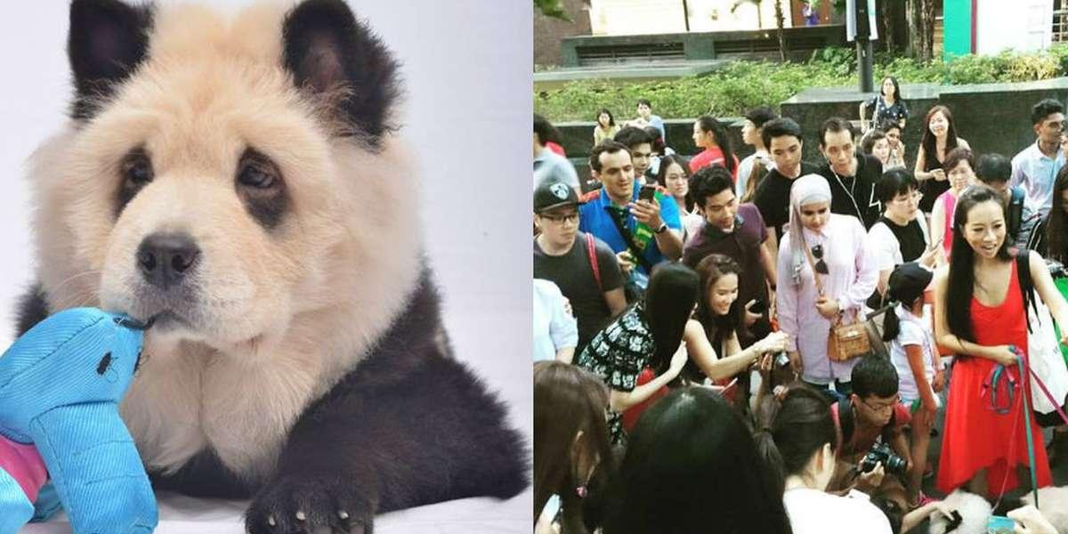 Хит китая: чау-чау панда