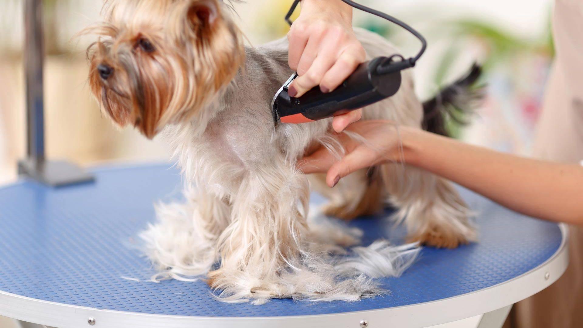 Грумер это - парикмахер для животных. когда и где появилась данная профессия, каковы её плюсы и минусы и что должен уметь делать настоящий профессионал
