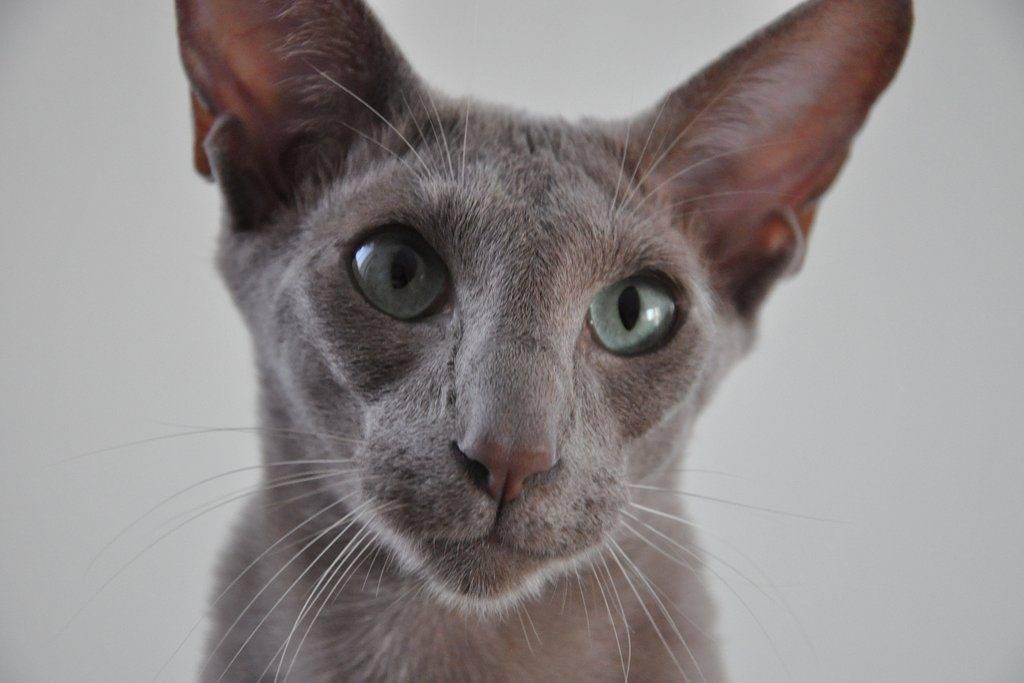 Почему у котят глаза в разные стороны: косоглазие у животных