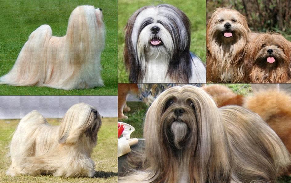 Лхасский апсо (порода собак): характеристика