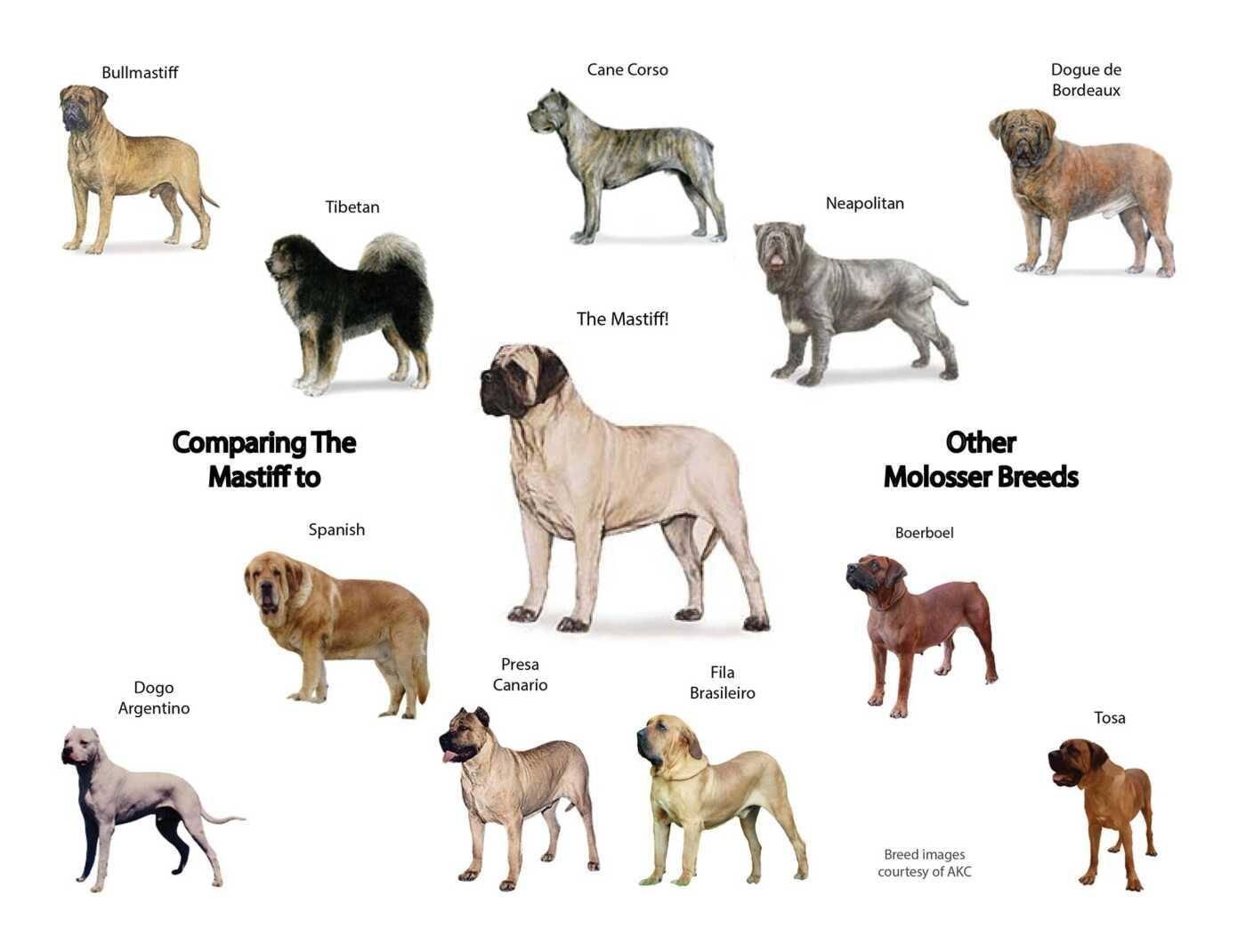 Спокойные породы собак — самые флегматичные и уравновешенные питомцы