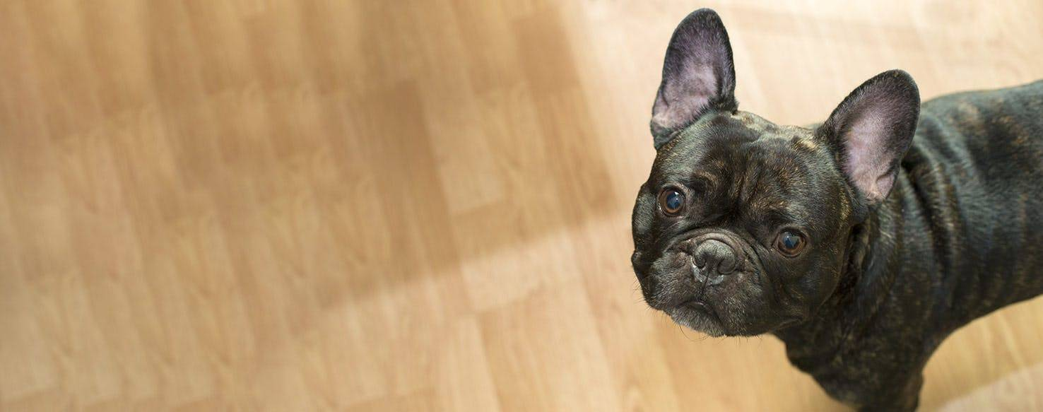 Французский бульдог мини - характеристика, плюсы и минусы собаки, чем кормить и сколько живут