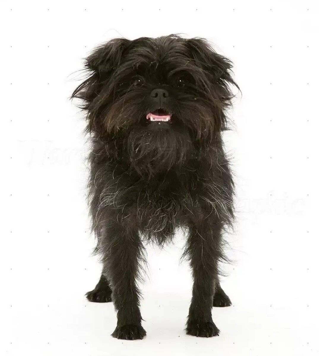 Описание породы аффенпинчер — собака, похожая на обезьянку