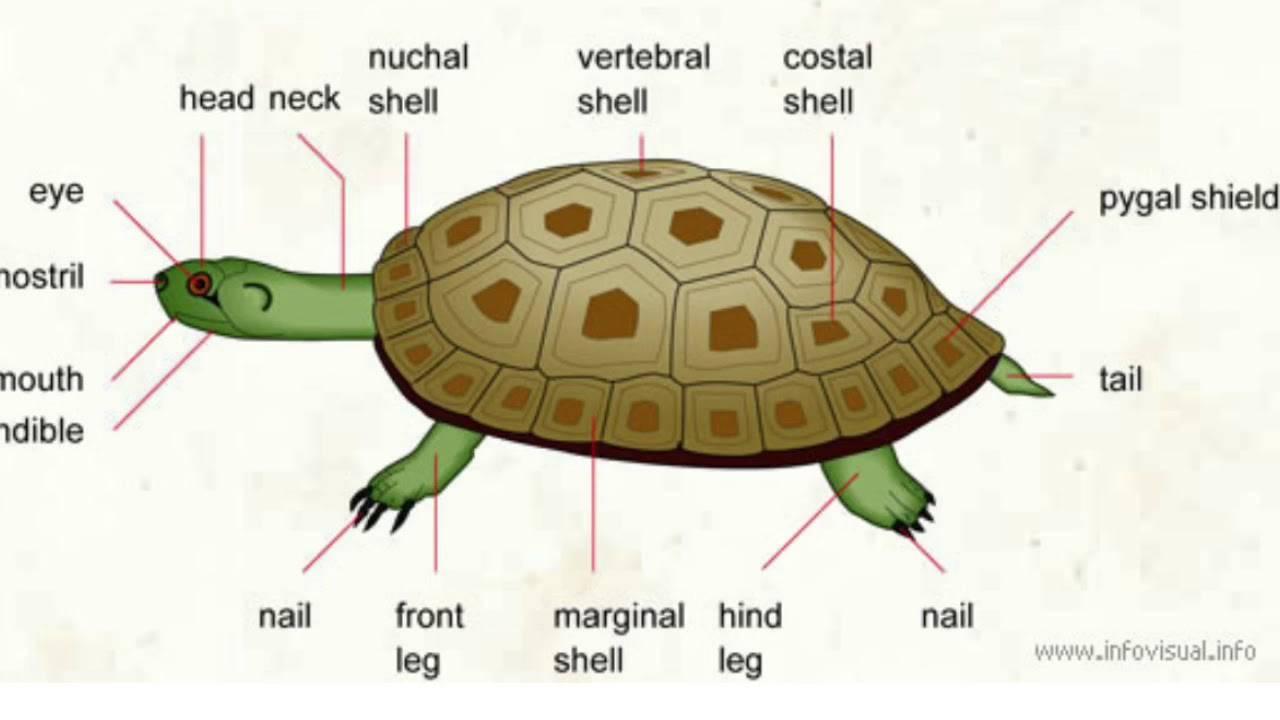Строение пищеварительной системы черепах