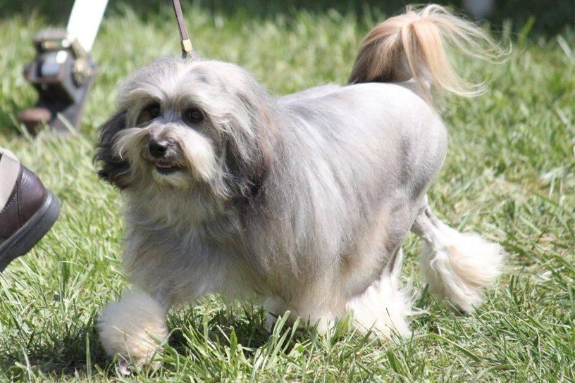 Лион бишон (малая львиная собачка): фото и описание породы