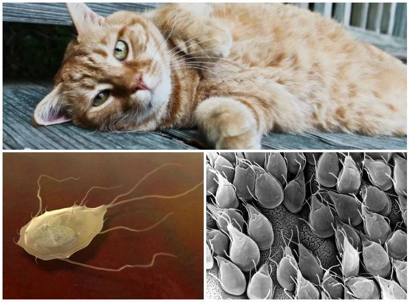 Глисты у кошек и котов